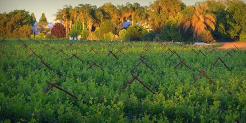 african-vineyard-2